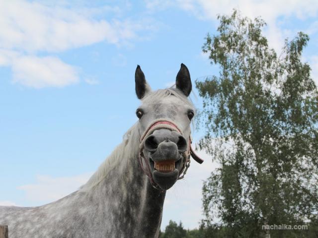 Лошади умеют улыбаться! Автор фото Мария Смирнова