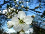 Цветок вишни. Автор: Кулакова Татьяна Владимировна
